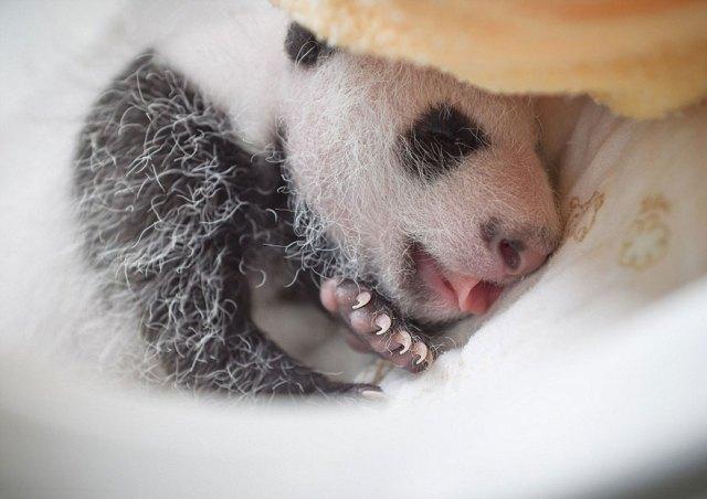 aparicion-publica-oseznos-panda-yaan-china (3)