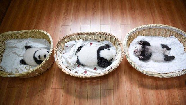 aparicion-publica-oseznos-panda-yaan-china (4)