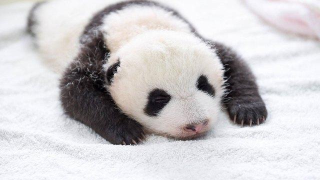 aparicion-publica-oseznos-panda-yaan-china (6)