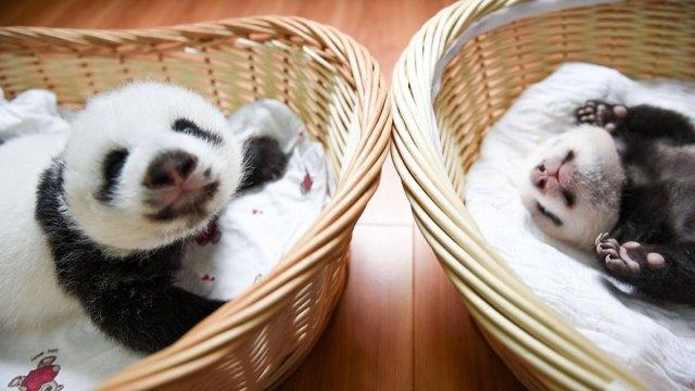 aparicion-publica-oseznos-panda-yaan-china (8)