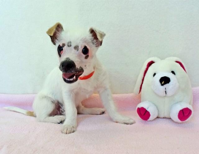 cachorro-perro-cicatrices-adoptado-hssv-christine-doblar (1)