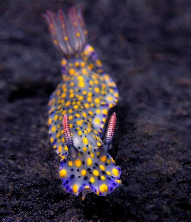 curiosas-babosas-marinas-nudibranquios (16)