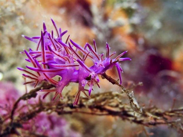 curiosas-babosas-marinas-nudibranquios (8)