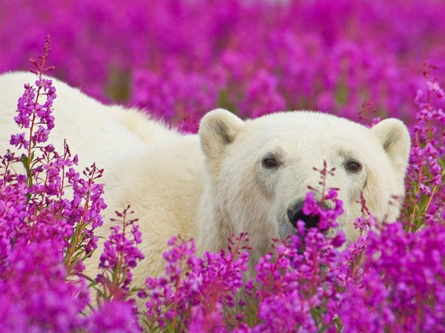 fotos-osos-polares-jugando-flores-dennis-fast (7)