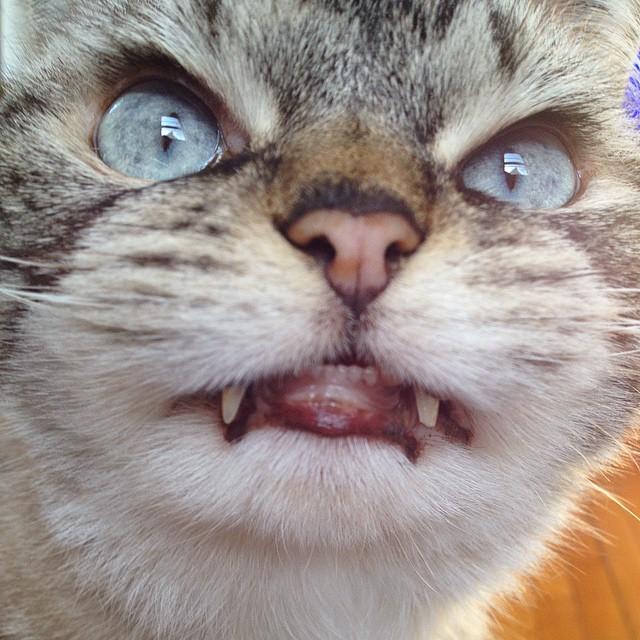 gato-vampiro-enfadado-loki (2)