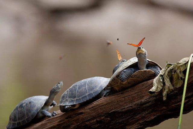 mariposas-beben-lagrimas-tortugas-ecuador
