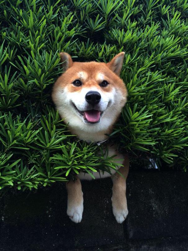 perro-shiba-atascado-arbusto-japon (1)