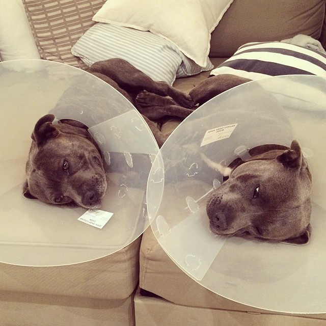 hermanos-perros-bull-terriers-blueboys-instagram (1)