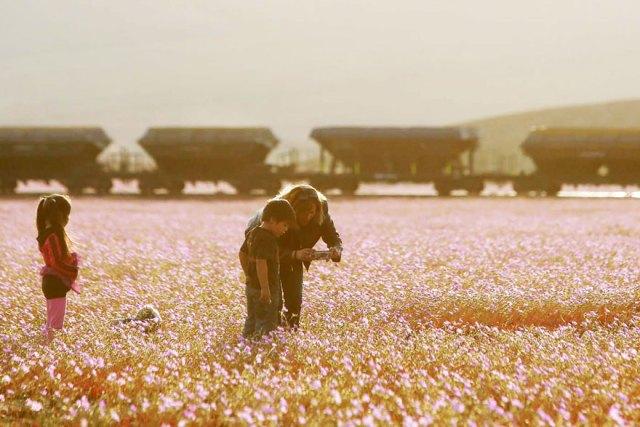 florecimiento-desierto-atacama-chile (3)