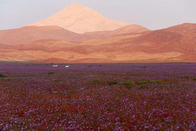 florecimiento-desierto-atacama-chile (5)