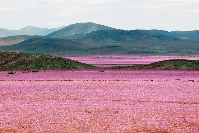 florecimiento-desierto-atacama-chile (8)