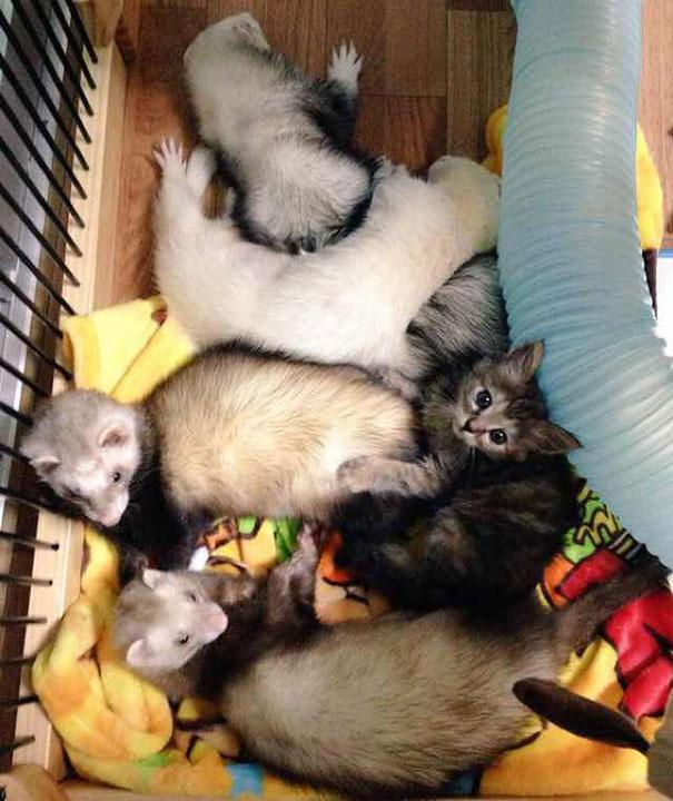 gato-komari-adoptado-familia-hurones (7)
