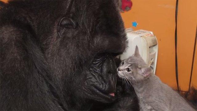 gorila-koko-regalo-cumpleanos-gatos (2)