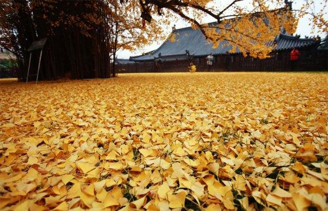 arbol-ginkgo-hojas-caidas-templo-budista-china (2)
