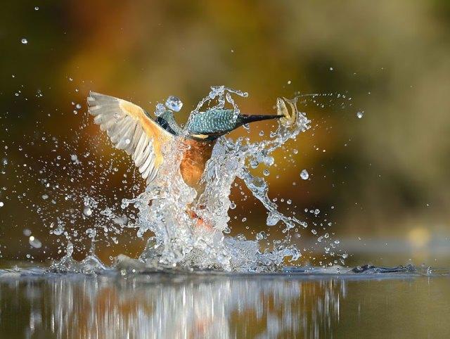 foto-perfecta-martin-pescador-alan-mcfayden (7)
