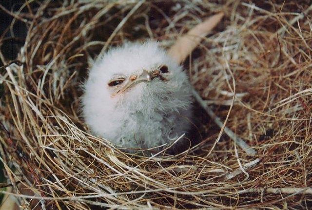 podargo-australiano-ave (1)