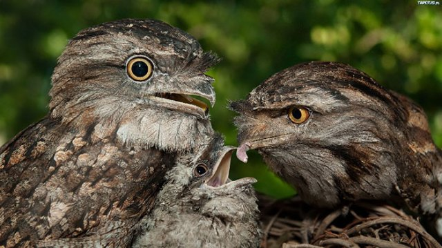 podargo-australiano-ave (24)