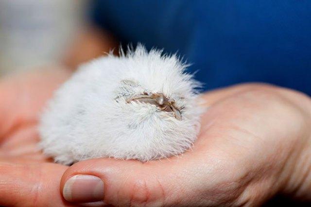 podargo-australiano-ave (27)