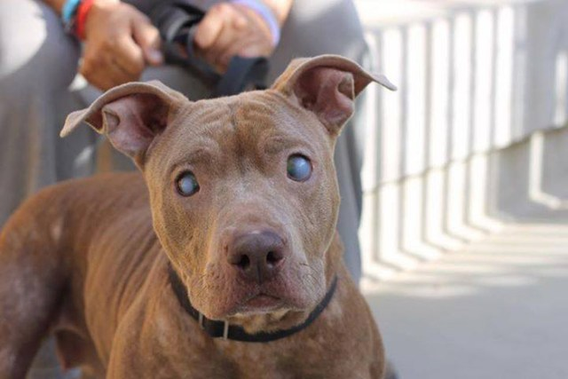 poly-perro-pitbull-ciego-abandonado-rescatado (3)