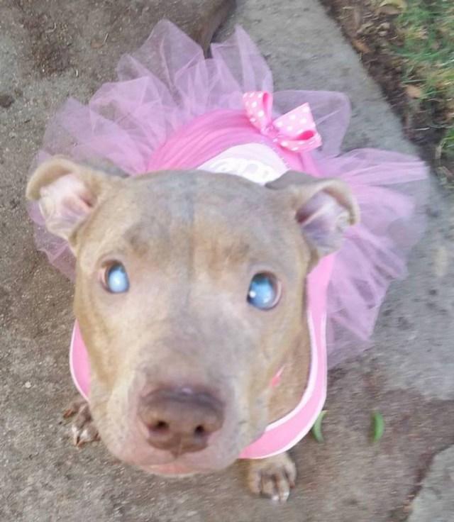 poly-perro-pitbull-ciego-abandonado-rescatado (7)