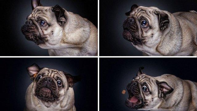 fotos-perros-expresiones-faciales-comida-christian-vieler (7)