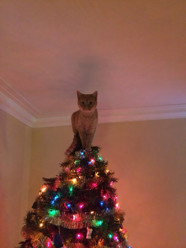 gatos-decorando-destruyendo-arbol-navidad (9)