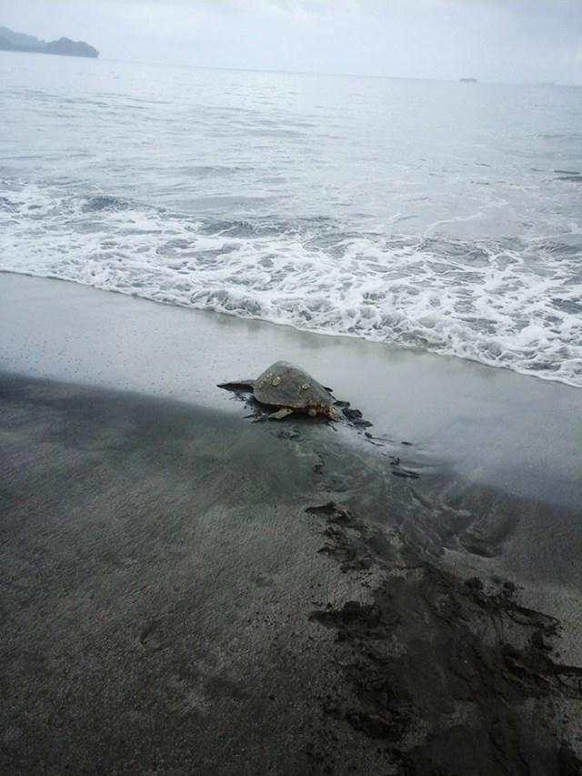 rescata-tortugas-marinas-arron-culling-papua-nueva-guinea (2)