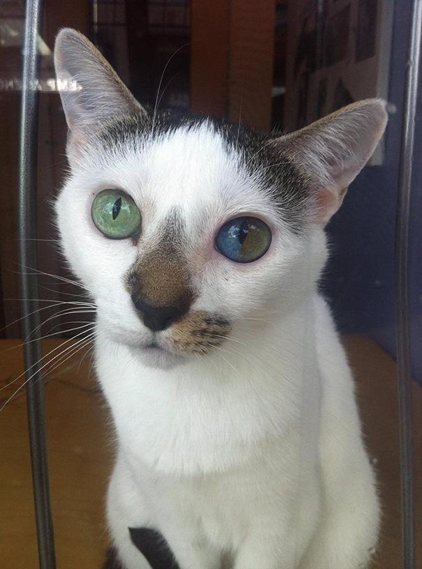 gato-ojos-multicolor-heterocromia-sectorial (6)