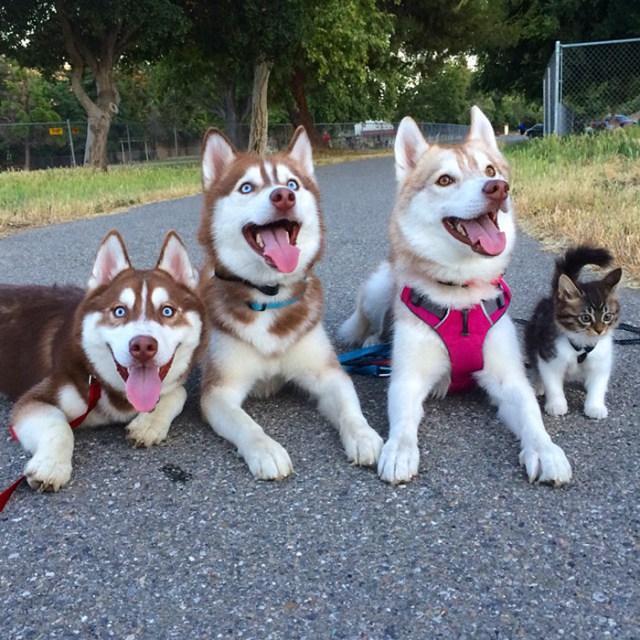 gato-rosie-amistad-3-perros-huskies (10)