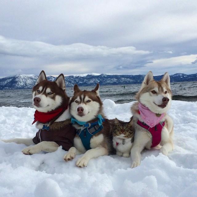 gato-rosie-amistad-3-perros-huskies (3)