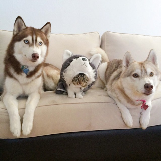 gato-rosie-amistad-3-perros-huskies (4)