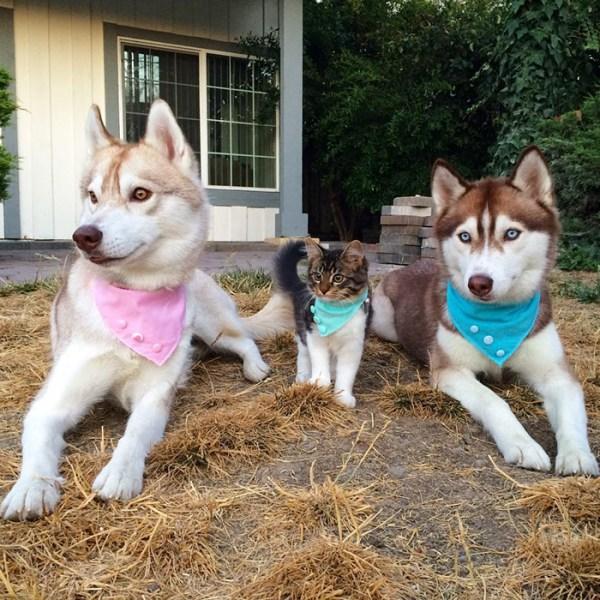 gato-rosie-amistad-3-perros-huskies (8)