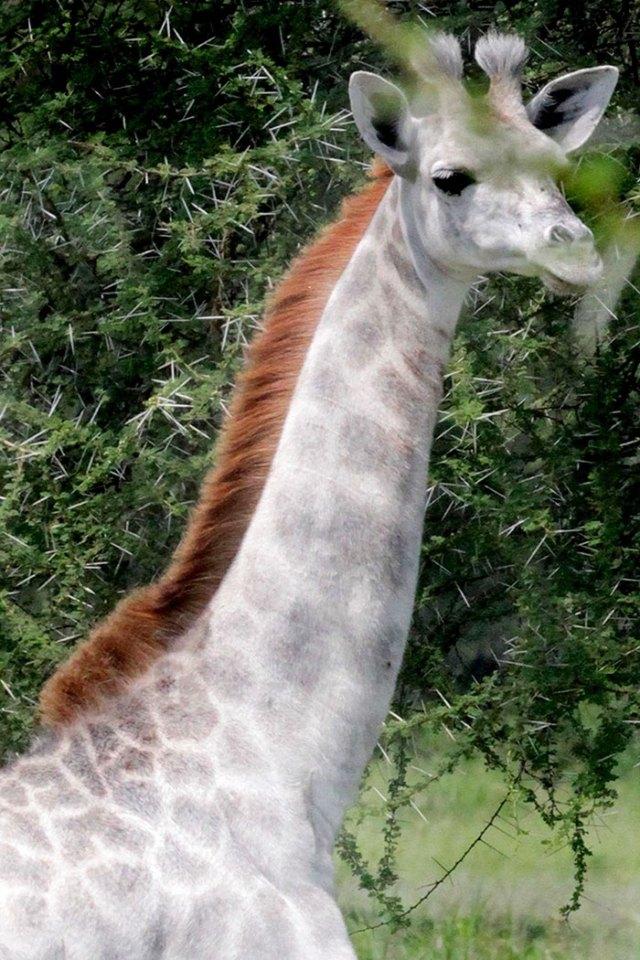 jirafa-blanca-omo-leucismo-tanzania (1)
