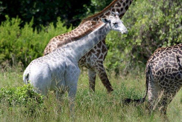jirafa-blanca-omo-leucismo-tanzania (2)