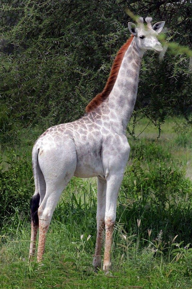 jirafa-blanca-omo-leucismo-tanzania (4)