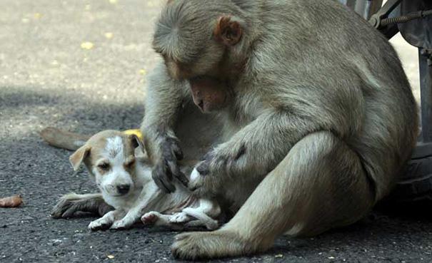 mono-adopta-cachorro-perro-india (2)
