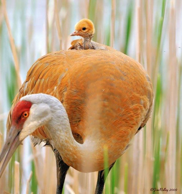 padres-pajaro-polluelos (16)