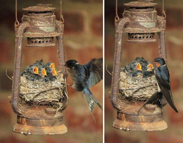 padres-pajaro-polluelos (20)