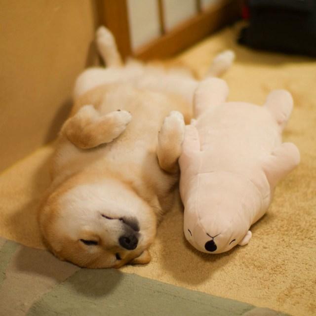 perro-shiba-inu-maru-dormir-igual-oso-peluche (6)