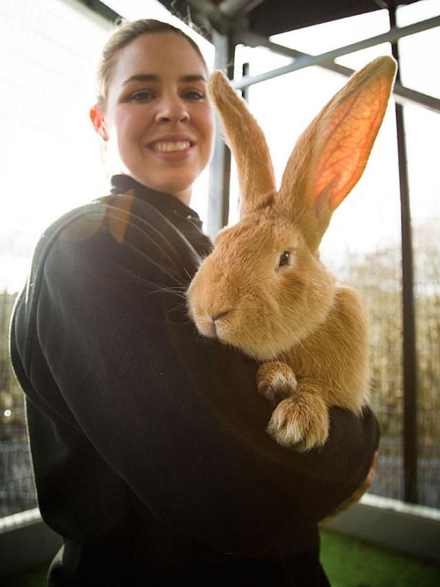 adopcion-conejo-gigante-continental-atlas-spca (1)