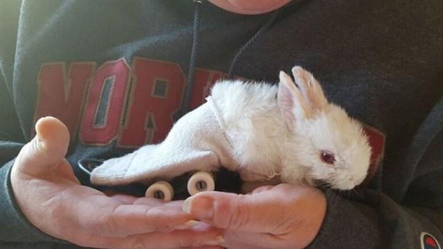 cria-conejo-paralitico-monopatin-wheelz (3)