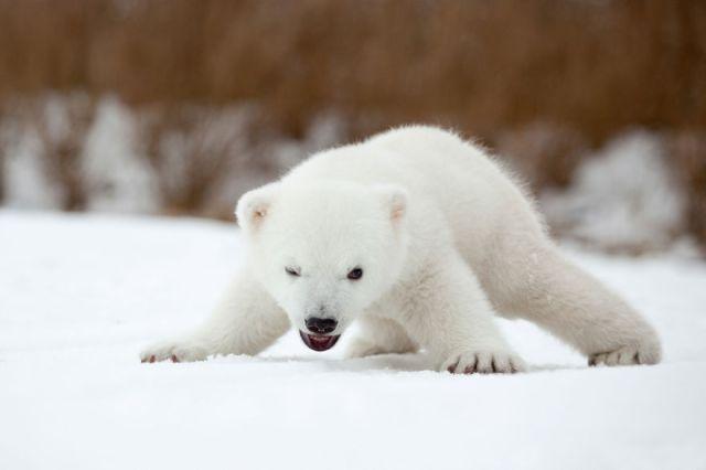 fotos-oseznos-polares (1)