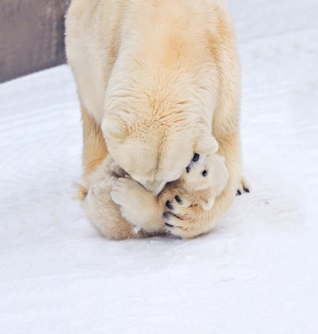 fotos-oseznos-polares (12)
