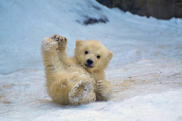 fotos-oseznos-polares (6)