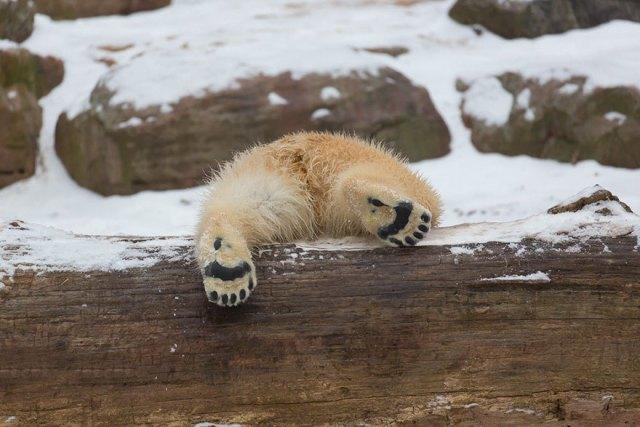fotos-oseznos-polares (8)