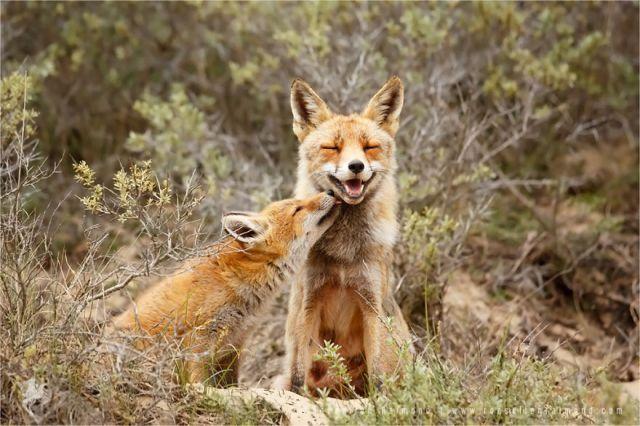 fotos-zorros-amorosos-roeselien-raimond (1)