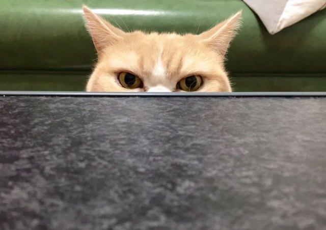koyuki-gato-enfadado-japones (13)