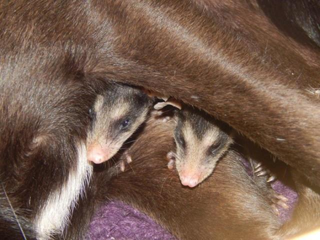 perro-pretinha-adopta-crias-zarigueyas-stephanie-maldonado (6)