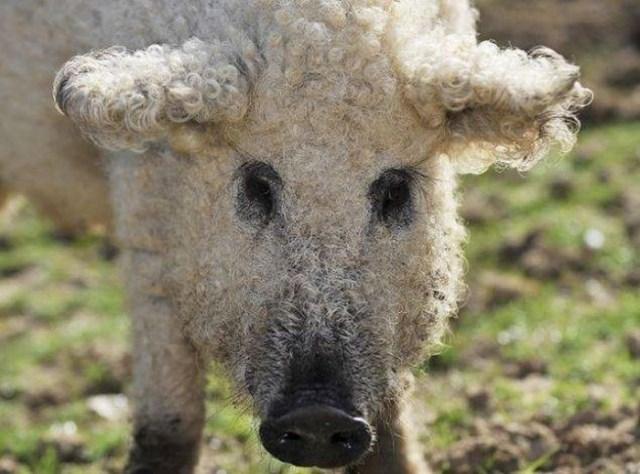raza-cerdo-lanudo-mangalica (1)