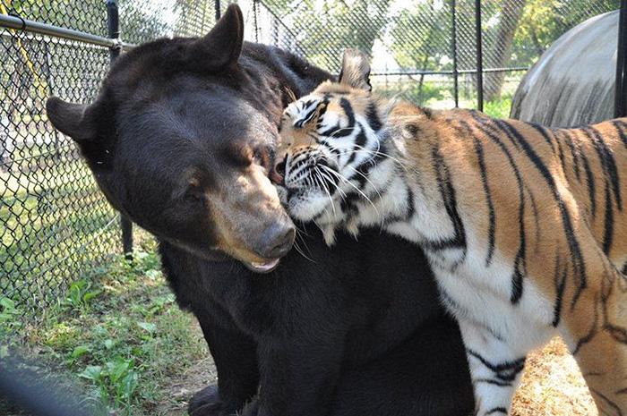 amistad-animal-inusual-oso-leon-tigre-santuario-georgia (4)